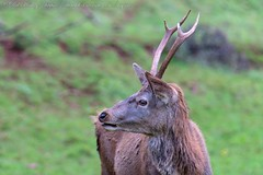 IMG_8775 (del.hickey) Tags: red deer ashton court bristol