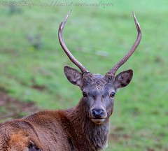 IMG_8758 (del.hickey) Tags: red deer ashton court bristol