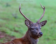 IMG_8757 (del.hickey) Tags: red deer ashton court bristol