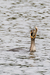 Cormorant with catch. (jeanne.marie.) Tags: cormorant pond autumn fish sunfish food