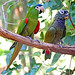 Brazil-01607 - Red-shouldered Macaw & Blue-headed Pionus