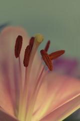 Lilly (Lou-bella) Tags: fujifilm fujifilmxt20 flower macro xc50230mm extensiontubes meike closeup xt20