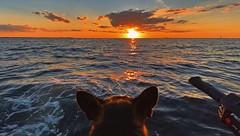 Kennedy The Sea Dog That Loves Boating Sunsets - IMRAN™ (ImranAnwar) Tags: pets animals humor nature silhouette horizon clouds sky reflections waves waverunner seaside iphone imran kennedy gsd germanshepherd jetski boating tampabay tampa florida