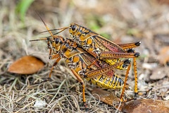 Eastern Lubber Grasshoppers (Linda Martin Photography) Tags: easternlubber wetlands nature us circlebranch mating romaleamicroptera insect wildlife grasshopper florida coth naturethroughthelens specanimal sunrays5 alittlebeauty ngc coth5 specinsect npc