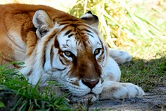 RIP Bala (Bengal Tiger) (blthornburgh) Tags: tiger buschgardens tampa florida bengal bengaltiger