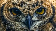 Dans les yeux (Joseph Trojani) Tags: hiboux chouette owl regard oeil yeux eyes look plume feather oiseaux rapace bird predatory predator portrait vert green animal animaux nature nikon d750