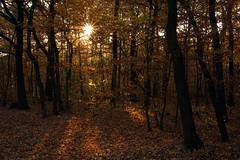 October Lights (tamasmatusik) Tags: forest october autumn autumnleaves lights sunrise sunlight trees morning sony a6000 30mm f22 wald fall morgen október
