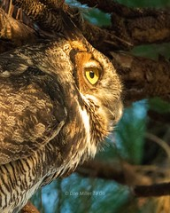 Profile of a killer (DonMiller_ToGo) Tags: owls birdsofprey birds d810 nature greathornedowl profile