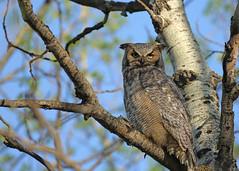 Great Horned Owl...#8 (Guy Lichter Photography - 5.2M views Thank you) Tags: canon 5d3 canada manitoba winnipeg wildlife animal animals bird birds owl owls greathornedowl