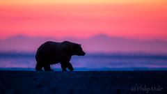 ... Beach Bum ... (Grandpops Woodlice) Tags: bear brownbear alaska cookinlet silversalmoncreek kenaipeninsula sunrise dawn