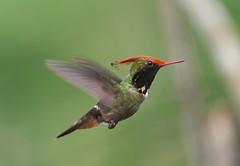 Rufous-crested Coquette (Lophornis delattrei) (Gavin Edmondstone) Tags: lophornisdelattrei rufouscrestedcoquette hummingbird bird waqankilodge peru