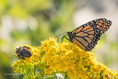 Monarch Butterfly with company 502_1428.jpg (Mobile Lynn) Tags: nature butterfly insects fauna insect wildlife wellfleet massachusetts unitedstatesofamerica coth specanimal ngc coth5 npc