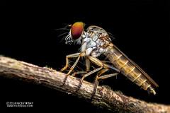 Robberfly (Asilidae) - DSC_9186 (nickybay) Tags: malaysia johor kotatinggi macro robberfly asilidae