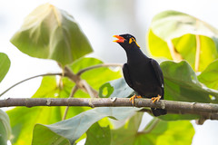 Common Hill Myna - Gracula religiosa (Jono Dashper Wildlife) Tags: kaengkrachannationalpark thailand kaeng krachan national park bird wild wildlife animal nature canon 500mm 1dx 2019 jonodashper jonathondashper common hill myna religiosa gracula commonhillmyna graculareligiosa