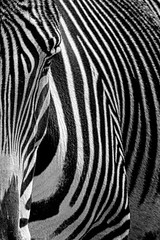 Animal Portraits - Stripes II (KWPashuk (Thanks for >3M views)) Tags: nikon d7200 tamron tamron150600mm kwpashuk kevinpashuk lightroom luminar luminar2018 luminar3 luminar31 luminar4 zebra animal nature wildlife portrait outdoors toronto zoo ontario canada monochrome mono