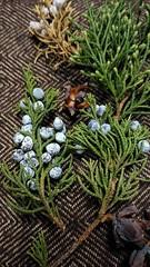 (Soror Mystica) Tags: juniper thuja conifers cupressaceae macro
