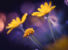 On vit on meurt. (Un instant.) Tags: flowers look bokeh love life dead côtédarmor bretagne sunset port 50mm