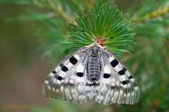 Reposando... (ajmtster) Tags: macrofotografía macro insecto insectos invertebrados mariposas mariposa lepidopteros papilionidae papilionidos parnassiusapollo apolo amt anverso butterfly butterflies papillon farfalle