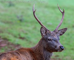 IMG_8756 (del.hickey) Tags: red deer ashton court bristol