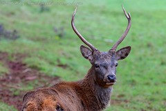 IMG_8755 (del.hickey) Tags: red deer ashton court bristol