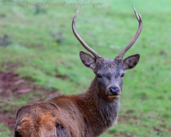 IMG_8754 (del.hickey) Tags: red deer ashton court bristol