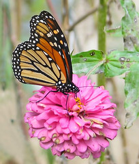 migrant Monarch on pink zinnia - this week (Vicki's Nature) Tags: monarch butterfly migrant orange pink zinnia blossom flower yard georgia vickisnature october fall canon s5 3774