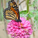 migrant Monarch on pink zinnia - this week