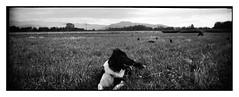 Ciobănesc Românesc Corb /Rumänischer Rabenhirtenhund/Border Collie Mix (bakmak71) Tags: bordercolliemix ciobănescromânesccorb plastipanocam myblackandwhitefriends agfaapx100 scanvomnegativ analog analogue adonal sommer summer herdenschutzhund hütehundmix ciobănescromânesc rumänischerrabenhirtenhund unserpony bigdog