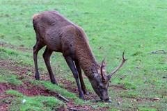 IMG_8768 (del.hickey) Tags: red deer ashton court bristol