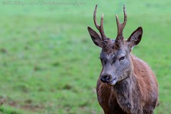 IMG_8767 (del.hickey) Tags: red deer ashton court bristol