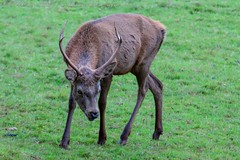 IMG_8748 (del.hickey) Tags: red deer ashton court bristol