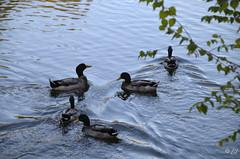 """Tranquilles ... (Brigitte .. . """"Tatie Clic"""") Tags: 201910084 octobre automne lac refletsdansleau arbres canards colverts oiseauaquatique lotetgaronne aquitaine francesudouest cinq"""