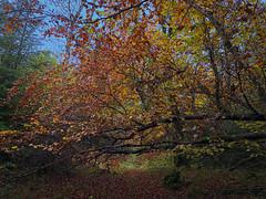Fallen (De Lambo) Tags: fall autumn autumncolours ireland oakpark roscommon trees