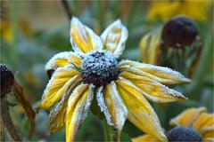 frozen.......... (atsjebosma) Tags: flower autumn frozen bevroren herfst bloem yellow geel atsjebosma october 2019 macro dof ngc sunrays5 coth5
