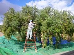 Aceitunas arbequinas (2) (calafellvalo) Tags: aceitunasaceitunerosarbequinasolivasoliaceiteolivosoilcalafellvalo aceitunas olivas oil oli aceite olives olivetree olivenbaüme olive oliveraires olivegroves calafellvalo recogiendoaceitunas green arbequina arbequino