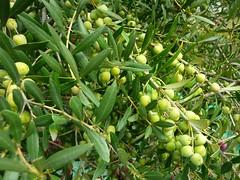 Aceitunas arbequinas (1) (calafellvalo) Tags: aceitunasaceitunerosarbequinasolivasoliaceiteolivosoilcalafellvalo aceitunas olivas oil oli aceite olives olivetree olivenbaüme olive oliveraires olivegroves calafellvalo recogiendoaceitunas green arbequina arbequino