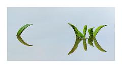 La tête.........et la queue du poisson. (Loïc Gouyette) Tags: zen minimaliste eau aqua plante reflection reflexion