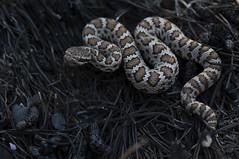 Arizona Black Rattlesnakes (DevinBergquist) Tags: crotalus crotaluscerberus arizonablackrattlesnake blackrattlesnake rattlesnake herping fieldherping arizona wildlife fire nature burn