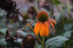 DSC02239 (Lens Lab) Tags: sony a7r ilex cinemat 100mm f29 plants garden flowers echinacea coneflower