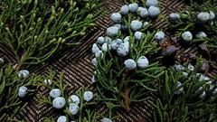 Juniper branch tips, fallen after rain storm (Soror Mystica) Tags: juniper thuja cones cupressaceae conifers macro