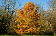 Orange and yellow (Millie Cruz (On and Off)) Tags: tree pine autumn fall leaves unioncanaltunnelpark lebanonpennsylvania grass sky trees orange ef24105mmf4lisusm canoneos5dmarkiii yellow big soe tmt htmt