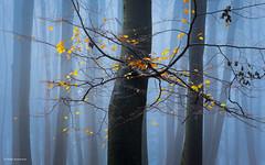 Hello November (He Ro.) Tags: bergischesland nebel wald fog foggy wood germany moody dull tree november deutschland leaves yellow blue nature woodland buche beechtree ngc npc