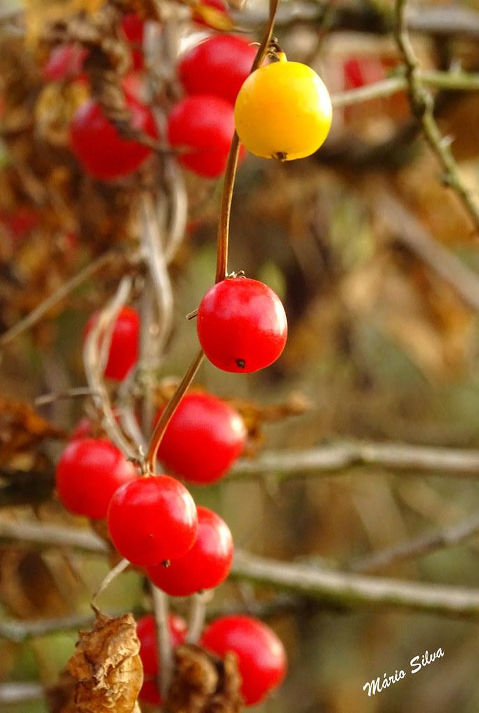 """Águas Frias (Chaves) - ... bagas vermelhas e (a """"ovelhas negra"""") que se quiz diferenciar e ficou amarela ---"""