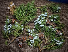 Windfall meant business today! (Soror Mystica) Tags: juniper thuja conifers cupressaceae cones