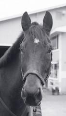 Benni (Derek R Goulet) Tags: horse horses animals equine crosscountry schooling equestrian sports saddle course massachusetts outdoors 35mm film bw blackandwhite pentax pentaxk1000 walk trot canter gallop jumps jump gelding