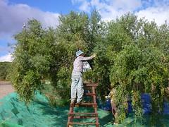 Aceitunas arbequinas (6) (calafellvalo) Tags: aceitunasaceitunerosarbequinasolivasoliaceiteolivosoilcalafellvalo aceitunas olivas oil oli aceite olives olivetree olivenbaüme olive oliveraires olivegroves calafellvalo recogiendoaceitunas green arbequina arbequino