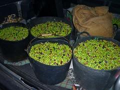 Aceitunas arbequinas (5) (calafellvalo) Tags: aceitunasaceitunerosarbequinasolivasoliaceiteolivosoilcalafellvalo aceitunas olivas oil oli aceite olives olivetree olivenbaüme olive oliveraires olivegroves calafellvalo recogiendoaceitunas green arbequina arbequino