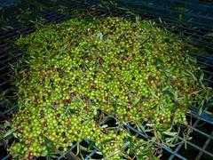 Aceitunas arbequinas (3) (calafellvalo) Tags: aceitunasaceitunerosarbequinasolivasoliaceiteolivosoilcalafellvalo aceitunas olivas oil oli aceite olives olivetree olivenbaüme olive oliveraires olivegroves calafellvalo recogiendoaceitunas green arbequina arbequino