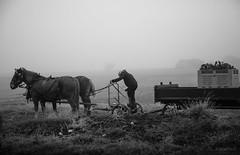 fog harvest (Jennifer MacNeill) Tags: lancaster county pa farm rural ag agriculture mood moody gloomy dark landscape amish man farmer horse horses draft work working vegetable harvest bnw bw littledoglaughedstories littledoglaughednoiret