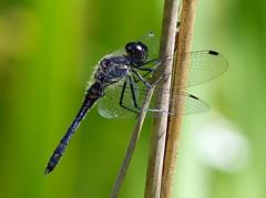 Black Meadowhawk - Schwarze Heidelibelle, ♂ (anne.w.51) Tags: dragonflies